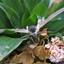 pijlstraatvlinder
