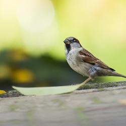 House sparrow 251015