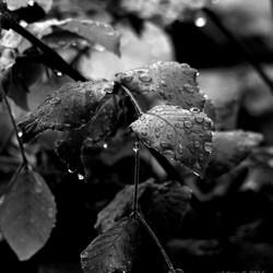 Raindrops ZW