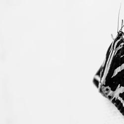 Vlinder in zwartwit