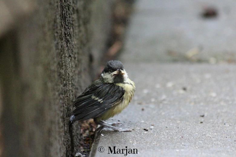 Jonge koolmees - Schattig vandaag het nest verlaten.