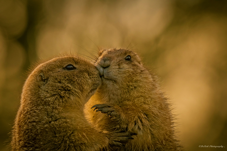 Black-tailed prairie dog ...and tomorrow is February 14th
