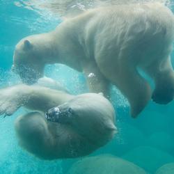 Polar bears playing