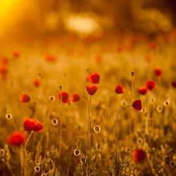 Poppies @ sunrise
