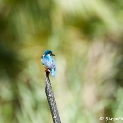 Sri lanka - King fisher