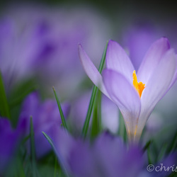 Focus on crocus