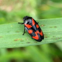 Rood- Cicade