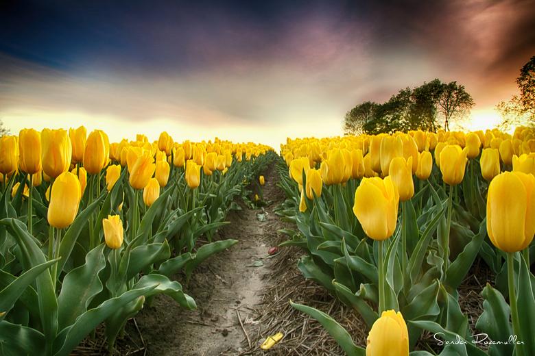 In the yellow - Gelukkig komen de bollenvelden in het oosten ook steeds meer voor. Deze is gemaakt in Tubbergen.