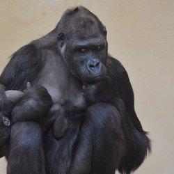 Gorilla met jong.