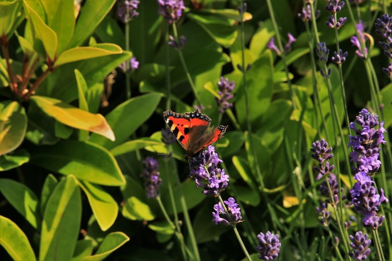 Vlinder bij de lavendel - Een mooie vlinder die even op bezoek is bij de lavendel.