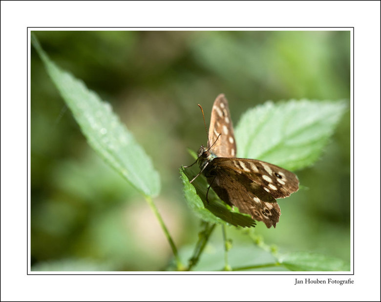 Vlinder - Sittard - Schwienswei