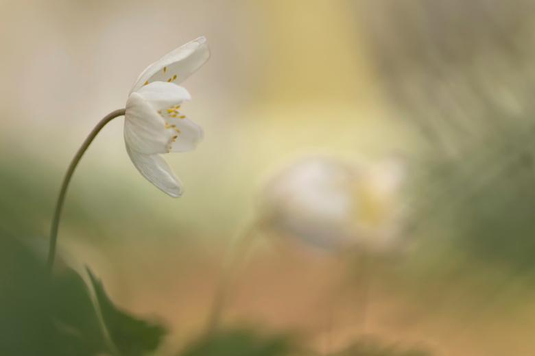 Pottekijker - Terwijl de twee kleine Bosanemoontjes in een romantisch onderonsjes zijn verwikkeld, kijkt de grote Bosanemoon nieuwsgierig toe.<br />