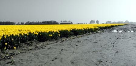 Welke tulp pluk jij? - Deze foto is gemaakt in de tulpenvelden op het eiland Goeree Overflakkee.<br />