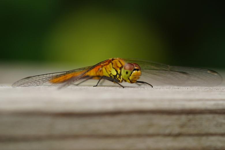Libelle in de achtertuin - In onze achtertuin zat op een bloembak een libelle...Naar binnen gerend om mijn fotocamera te pakken, gelukkig bleef hij op