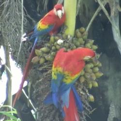 2010 Costa Rica ara papegaai.jpg