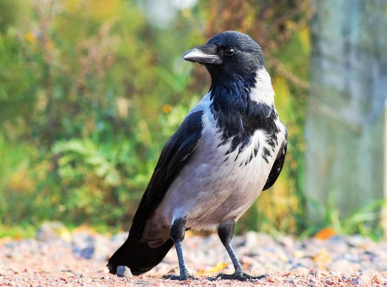 bonte kraai - slimme vogels en hebben je zo door maar gelukkig wilde deze even blijven zitten ze komen hier vrij veel voor .<br /> bedankt voor julli