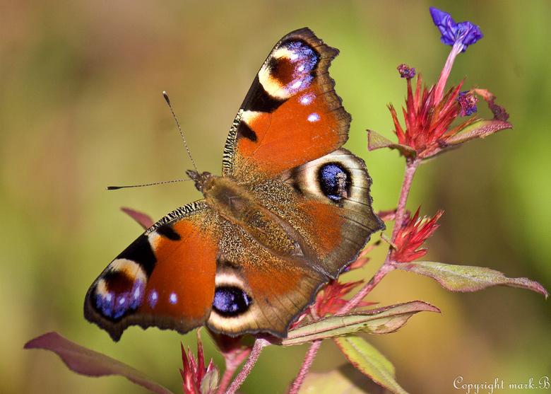 Vlindertje - Ze fladderen nog steeds vrolijk rond.