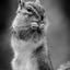 Eekhoorn in zwart-wit