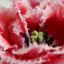 close up tulp