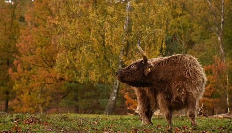 Handig - Een herfstplaatje van deze week van Boswachterij Dorst.<br /> Vanaf deze kant is het niet goed te zien maar de hooglander gebruikt haar hoor