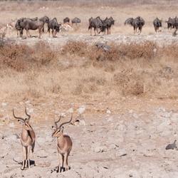 Impala's en Gnoes