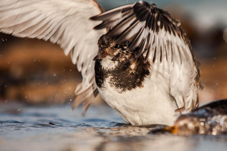 Steenloper - Tussen alle kopportretjes van drieteenstrandlopertjes en paarse strandlopers ook deze badderende steenloper die zn vleugels uitschut, dit