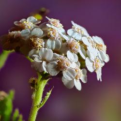 Duizendblad - Achillea millefolium_2141