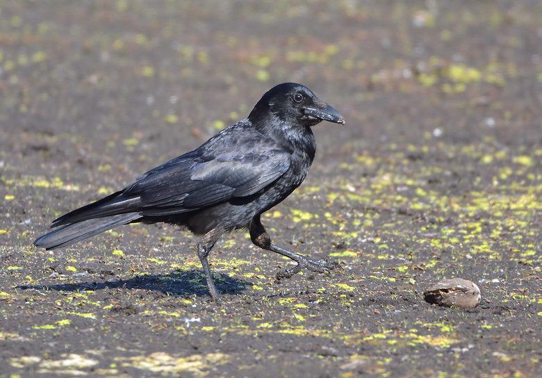 Zwarte Kraai (Corvus Corone) - Zwarte kraaien zijn alleseters en maken op een opportunistische manier gebruik van de bronnen die in hun leefgebied aan