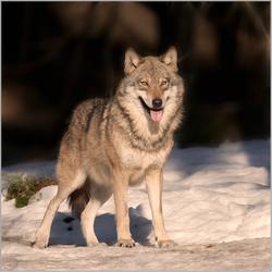 Wolf in de zon