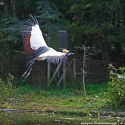 Europese Kroonkraanvogel