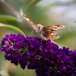 Vlinder uit eigen tuin