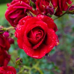 Roos met druppels