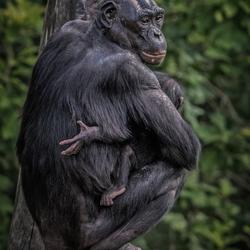 Bonobo moeder met kind