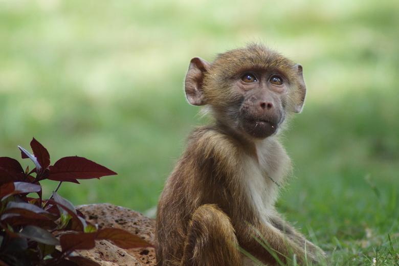 aapje - Kenia- aapje bij de lodge