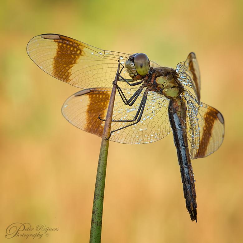 """Look @ my Wings - Prachtige diertjes, de bandheidelibellen...<br /> Iedereen bedankt voor de vele leuke reacties op mijn 1000ste upload <img  src=""""/i"""
