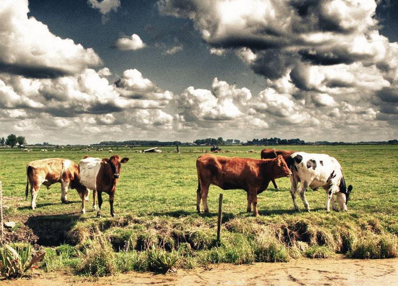 koe1BWdefzm.jpg - Koeien bij Wartena.(Frl.)