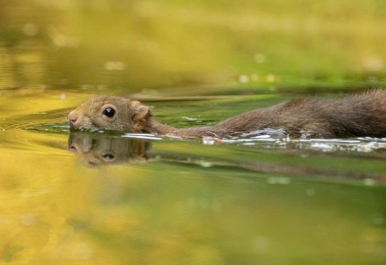 Zwemmend eekhoorntje -