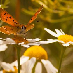 Oranje vlinder en Margriet
