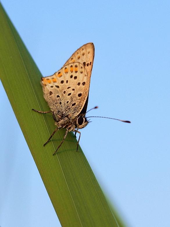 """Bruine vuurvlinder - in late zonlicht.Viel niet mee en opgevreten door de muggen <img  src=""""/images/smileys/smile-big.png""""/> maar je moet er wat voor"""