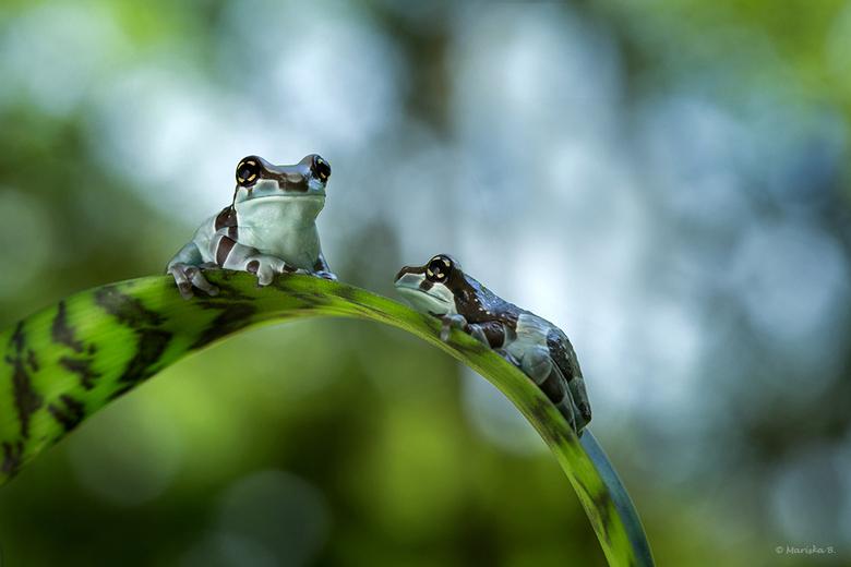 Golden Eyes - Melkkikkertjes uit de Amazone. <br /> Phrynohyas resinifictrix, ook wel... golden-eyed tree frog genoemd. Jonkies nog maar.