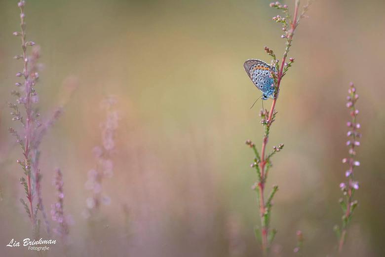 vlinder - Dit kleine blauwtje had zijn slaapplaats voor de nacht al gevonden.  Een mooie heide struikje dat al een al beetje in bloei stond. Het laats