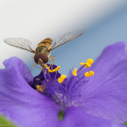 Zweefvliegje op ééndagsbloem