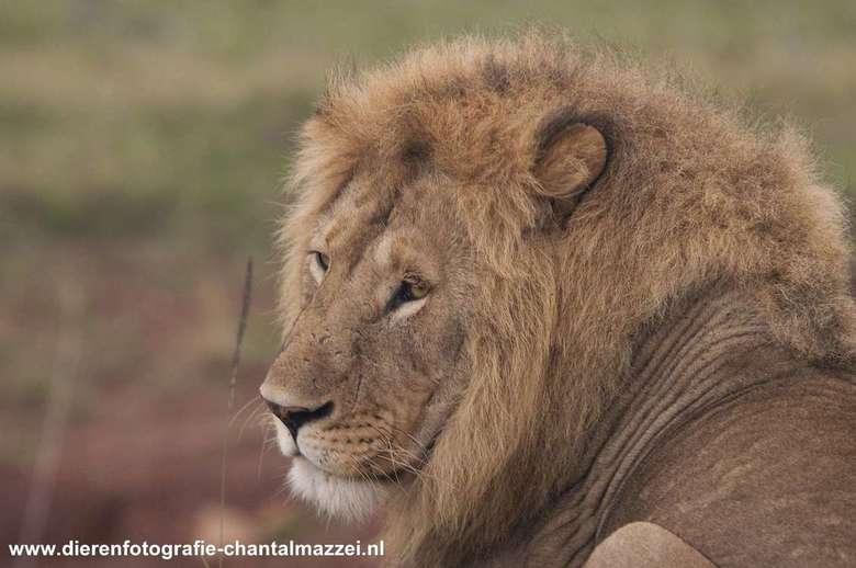 Jonge leeuw - Deze leeuw heeft iets speciaals....De foto is in het Masai Mara National Park genomen en deze jonge leeuw lag middenop een zandheuvel. H