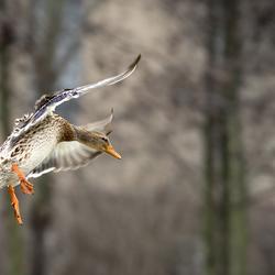 Watervogel (eend)