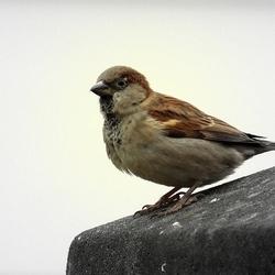 meestgetelde vogeltje
