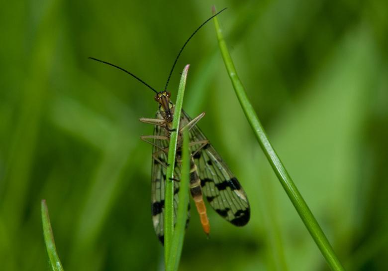 Schorpioenvlieg - Dank zij Gea de juiste naamgeving gevonden.<br /> Een vrouwtjes schorpioenvlieg dus.