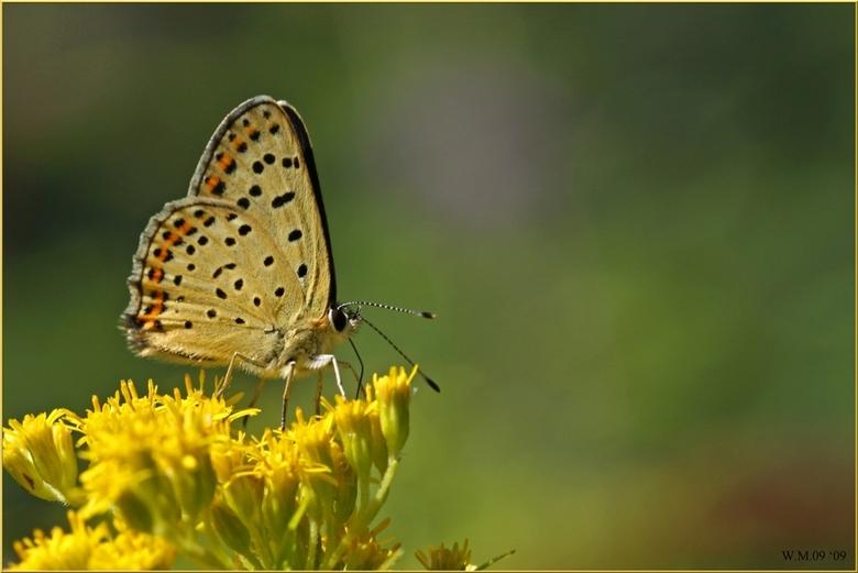 Lycaena tityrus - De Bruine Vuurvlinder, of Lycaena tityrus, gefotografeerd in Noord-Italië.<br /> Een prachtig, bloemrijk  insectengebied, midden in