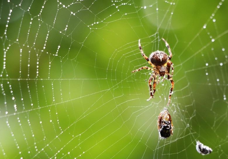 itsy bitsy spider - in de vroege ochtenddauw genomen. een kleine wesp was al in haar web gevlogen.