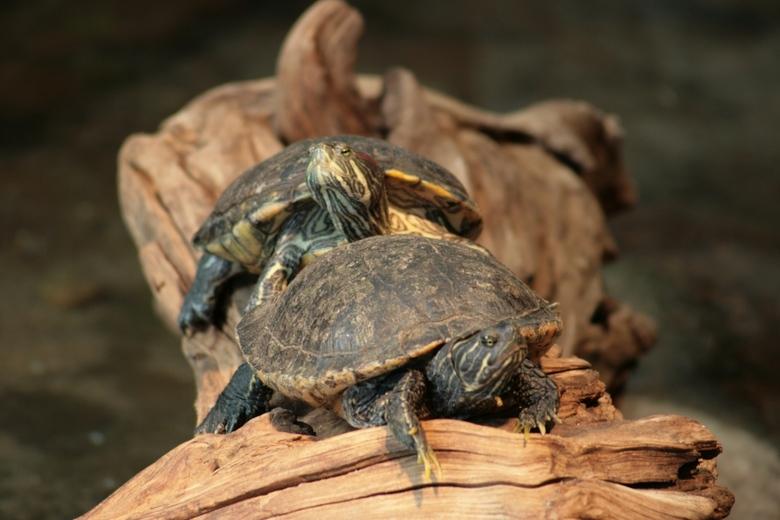 Schilpadden in Artis - Deze schildpadden lagen lekker in het zonnetje.