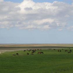paarden en jongvee buitendijks (in mei)